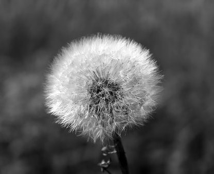 dandelion-1563950__340