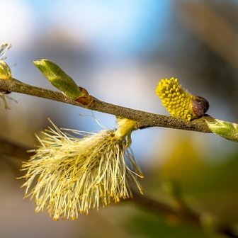 willow-catkins-3325554__340